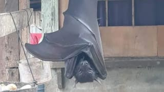 Fake or Real? Picture of 'Human-Sized' Bat From Philippines Spooks Twitter, Here's the Truth Behind The Viral Image