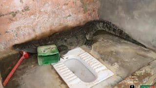 UP Man Finds a 5-Foot-Long Crocodile Perched in The Toilet of His Home, Panic Ensues