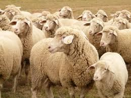 50 Goats and Sheep Quarantined After Shepherd Contracts Covid-19 in Karnataka Village
