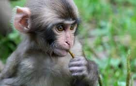 Heartbreaking! Baby Monkey Clings to its Dead Mother, Rescued by PETA & Forest Officials in UP