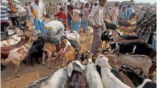 Ahead of Bakra Eid 2020, PETA Starts Campaign to Stop the Sacrifice of Goats, Urges People to 'Go Vegan'