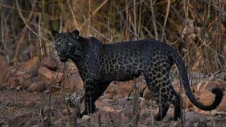 Waited For 2 Hours to Get the Perfect Shot: Pune Photographer on Viral Black Leopard Picture