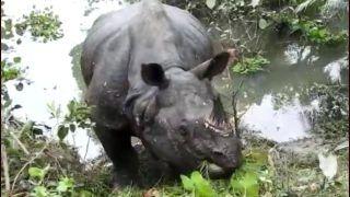 Assam Floods: Strayed Rhino Moved to Park Territory, Kaziranga Shares Video of Him Gaining Strength After Sleeping on Highway