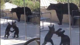 'Aaah Babies': Viral Video of Bear Cubs Wrestling is Perfect Stressbuster This Thursday!