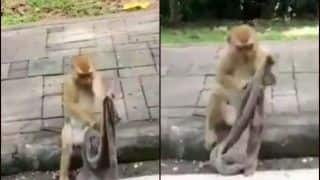 'That Was Full Mithun Chakraborty': Netizens Left in Splits Over Viral Video of Monkey Wrapping Cloth Like Face Mask With Ultra Swag