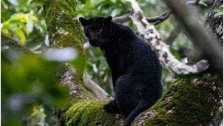 Rare Majestic Black Panther Spotted in Karnataka's Nagarhole Tiger Reserve, Pictures Go Viral