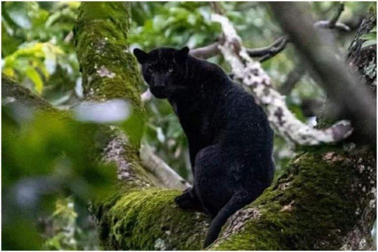 Rare Majestic Black Panther Spotted in Karnataka's Nagarhole Tiger Reserve, Pictures Go Viral