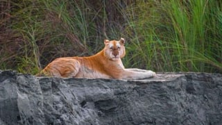 'Look at This Beauty': Internet Left Amazed After Pictures of India's Only 'Golden Tiger' Go Viral