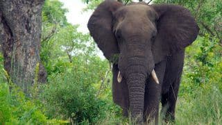 After Man Gets Trampled by Elephants in Jharkhand's Gola, Villagers Spend Nights on Trees