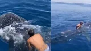 Saudi Man Jumps on Back of Rare Whale Shark & Rides Along While Holding Fin   Watch Viral Video