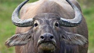 Horrific Animal Cruelty: Pregnant Wild Buffalo Killed For Its Meat in Kerala's Malappuram, Foetus Butchered