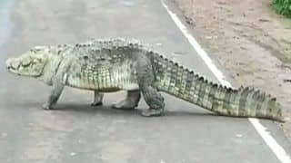 10-Feet-Long Crocodile Spotted on Highway in MP's Shivpuri, Later Released in Pond | Watch Viral Video