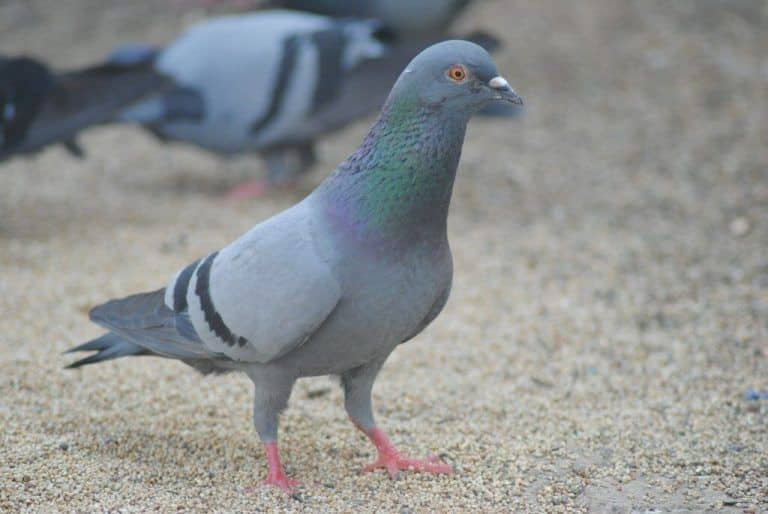 Warned Against Spitting, UP Youth Kills 11 of His Neighbour's Pigeons With Stone As Revenge