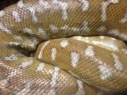 10-Foot-Long Python Dies Mysteriously After Swallowing a Deer in Uttar Pradesh, Probe Ordered