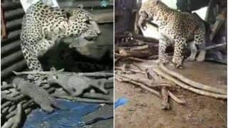 Leopard That Gave Birth Inside Hut in Nashik Takes Her Four Cubs to Jungle | Watch Adorable Video