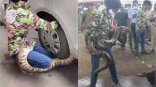 Watch | Rock Python Caught Under The Wheels of a Car in Mumbai, Freed By Rescue Workers
