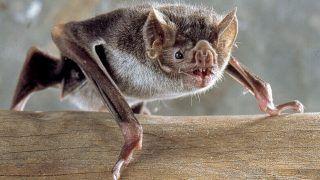 Bats Too? Study Says Vampire Bats Practice Social Distancing When They Get Sick