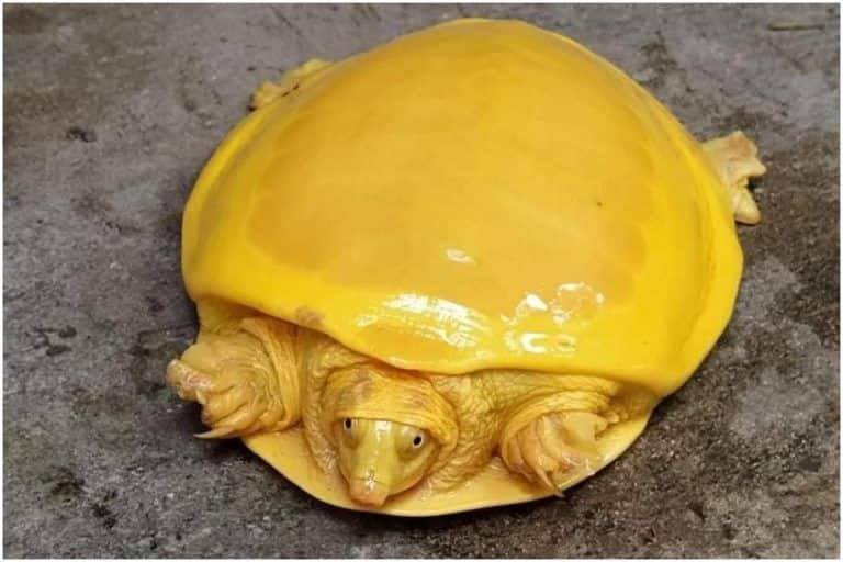 After Odisha, Rare Bright Yellow Turtle Found In West Bengal; Pictures Stun The Internet