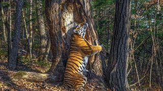 Rare Photo of a Siberian Tigress Hugging a Tree Wins The Wildlife Photography Award 2020