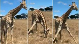 What's So Amazing About a Giraffe Eating Grass, You Ask? Watch This Viral Video & You Will Know