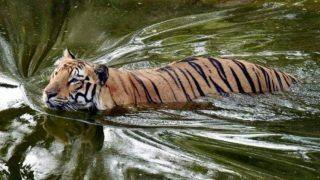 Man-eater Tiger Who Killed Eight People Captured in Maharashtra's Chandrapur District