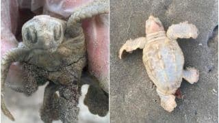 Incredibly Rare Sight! White Sea Turtle Discovered on South Carolina Beach, Pictures Go Viral