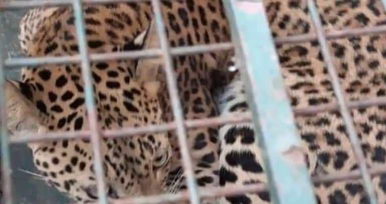 Panic in Guwahati After Leopard Enters Girls' Hostel & Gets Trapped Under Sofa, Caught After 3 Hours