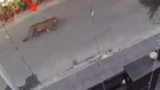 Panic Grips Residents After Leopard Spotted Roaming in Streets of Ghaziabad, CCTV Footage Emerges | Watch
