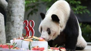 Xinxing, World's Oldest Giant Panda in Captivity, Dies of Multiple Organ Failure at 38 in China