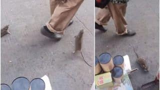 Bizarre! Chinese Man Seen Taking Two Rats For a 'Walk' With Wires Tied to Their Mouths
