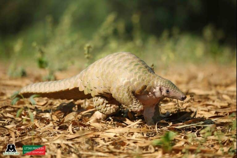 Rare & Endangered Indian Pangolin Rescued Near Agra, Released Back Into Its Natural Habitat