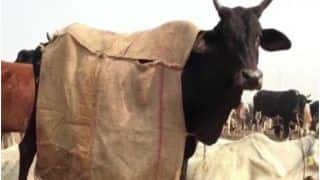 Special Jute Coats, Bonfires: Here's How Uttar Pradesh is Making Sure Cows Stay Warm in Winter