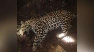 Man-Eater Leopard Who Killed 8 People in Maharashtra Shot Dead by Forest Department