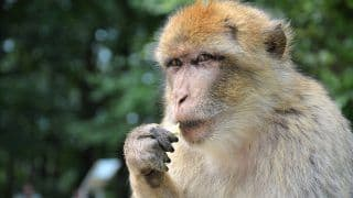 Monkey Snatches Bag Containing Rs 4 Lakh in UP's Sitapur, Tears & Throws Currency Notes in The Air