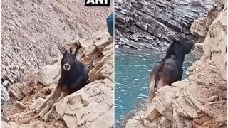 Rare & Shy Himalayan Serow Spotted in Himachal Pradesh's Spiti For The First Time, Pictures Go Viral