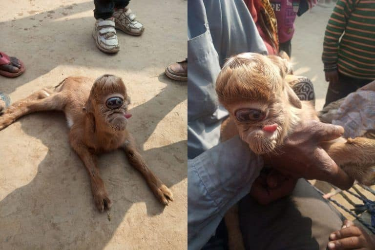 Abnormal Goat Kid Born With Large Eye Socket on Its Forehead, People Flock to UP Village to See It