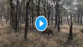 Tiger Video: जंगल में भिड़ गए दो बाघ, देख लोग बोले- दहाड़ से रूह कांप गई...