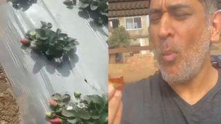 स्ट्रॉबेरी की खेती कर रहे हैं MS Dhoni, बोले- लेकिन अब खेत पर नहीं जाऊंगा, देखें- VIDEO