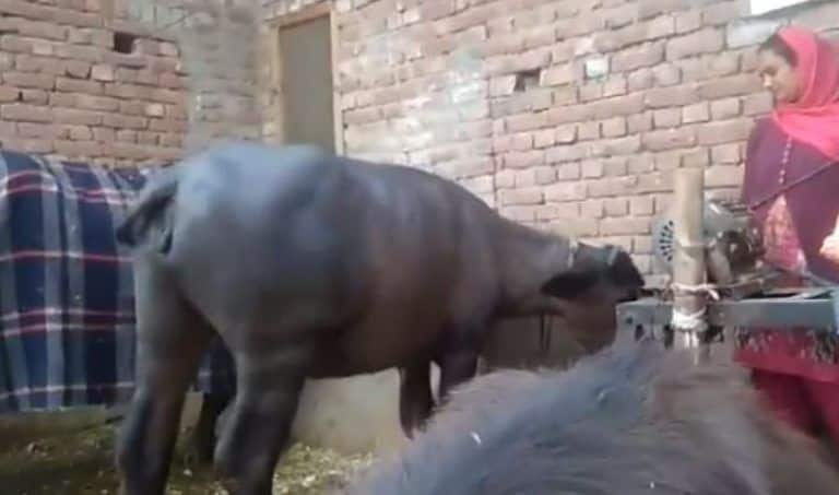 This Hilarious Video of a Buffalo Dancing with its Owner will Make You Laugh Insanely