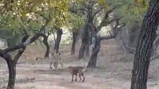 Too Much Confidence: Fearless Stray Dog Fights Lioness, Video Goes Viral