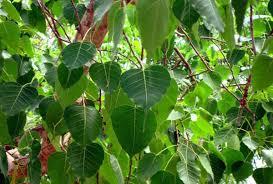 Desh Ka VVIP Ped: एक पत्ता भी टूट जाए तो मच जाता है हड़कंप, जानिए क्यों खास है ये वीवीआईपी पेड़