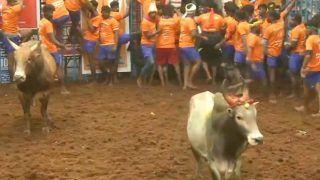 Jallikattu Begins in Tamil Nadu's Madurai Amid COVID Restrictions   WATCH Here