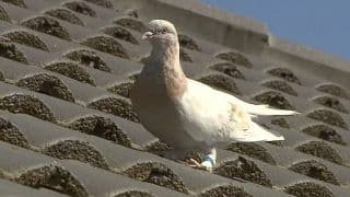 FIR Lodged Against Pigeon Caught Near Pakistan Border For Carrying Suspicious White Paper