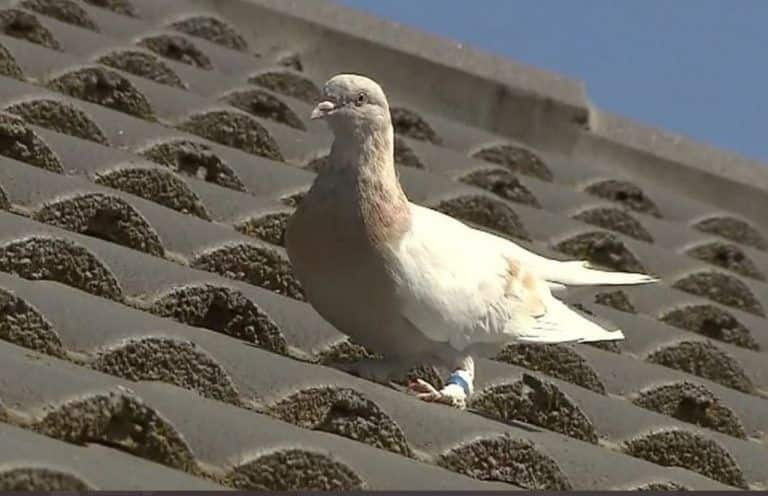 US Racing Pigeon That Survived 13,000 km Journey to Face Euthanasia in Australia