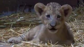 Singapore Zoo Welcomes Country's First Artificially Conceived Lion Cub Named 'Simba'   Watch