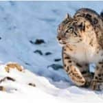 Uttarakhand Geared Up to Play Host to First-ever Snow Leopard Tours, All You Need to Know