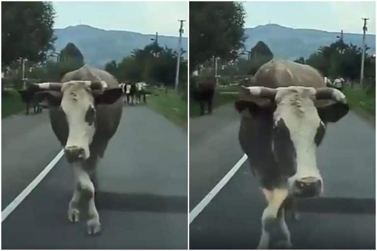 Cow Catwalk Viral Video: Cow Walks Like a Model in Middle of The Road, Amuses The Internet | Watch