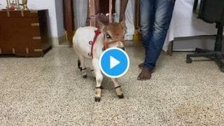 Cute Cow Baby Viral Video Will Drive Away Your Tuesday Blues | Watch Awwdorable Video