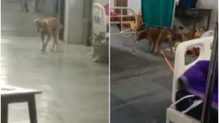 Stray Dogs Seen Roaming Inside Patient Ward at Govt Hospital in Nagpur, Video Goes Viral   Watch