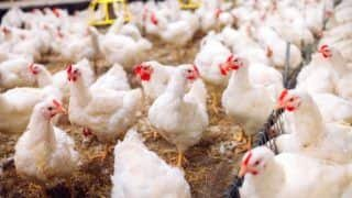 Bizarre! To Tackle Bird Flu, MP Govt Bans    Movement of Birds    in Certain Areas For 3 Months